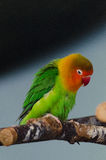 Multicolor little parrot 2. Multicolor little parrot on branch Royalty Free Stock Image