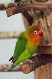 Multicolor little parrot. On branch Royalty Free Stock Photos