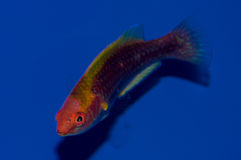 Multicolor Lubbock`s Fairy Wrasse. The Multicolored Lubbock`s Fairy Wrasse is also known as the Lubbock`s Fairy Wrasse. The male has a bright yellow and red body Stock Photos