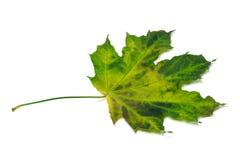 Multicolor maple-leaf Stock Image