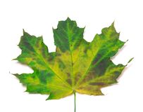 Multicolor maple-leaf. Close-up view Royalty Free Stock Photos