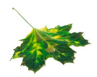 Multicolor maple leaf Royalty Free Stock Image