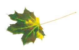 Multicolor maple leaf Royalty Free Stock Photo