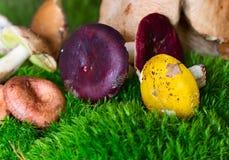 Multicolor mushrooms russula (Anglophile) Stock Photo
