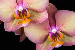 Multicolor orchid Stock Photos