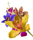 Multicolor orchids Royalty Free Stock Images