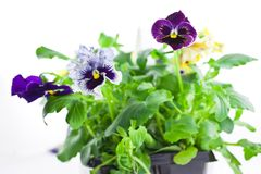 Multicolor pansy's sprouts in plastic pots Royalty Free Stock Photo