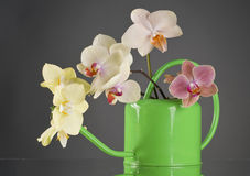 Multicolor phalaenopsis orchid flowers in a watering can Royalty Free Stock Photo
