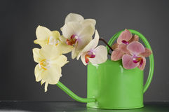 Multicolor phalaenopsis orchid flowers in a watering can Stock Photos