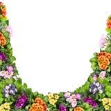 Multicolor primula kwiatów rama, odosobniona na bielu Obrazy Royalty Free