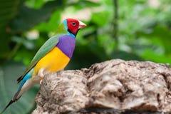 Multicolor ptak Zdjęcie Royalty Free