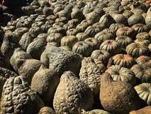 Multicolor Pumpkin patch stock images