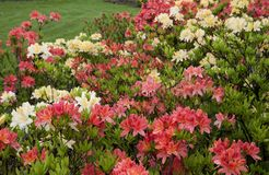 Multicolor rhododendron bushes on a lawn in the park. Azalea flowers in a garden. Beautiful spring flowers royalty free stock images