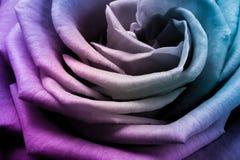 Multicolor rose Stock Photos