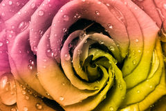 Multicolor rose Royalty Free Stock Photos