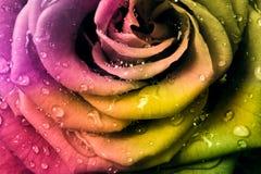 Multicolor rose Stock Photo