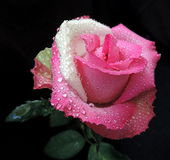 Multicolor rose. Beautiful gentle rose with waterdrops Royalty Free Stock Photo