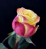 Multicolor rose. On dark background Royalty Free Stock Images