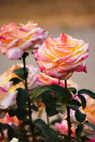 Multicolor Rose. Natural Rose with multicolor petals stock photography
