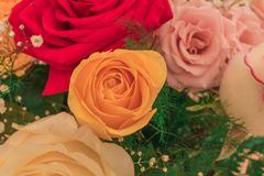 Multicolor roses in the foreground. Arrangement of multicolor roses in the foreground with pastel shades stock photo