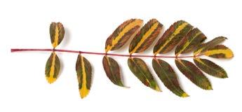 Multicolor rowan leaf on white background Stock Photos