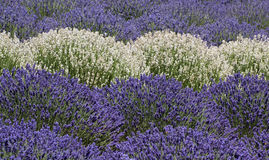 Multicolor Rows of Large Lavender Plants Background Stock Photo