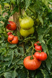Multicolor tomatoes growing in a garden Stock Photo