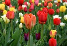 Multicolor tulipfield в цветени Стоковые Фотографии RF