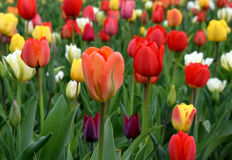 Multicolor tulipfield in bloom. A typically spring flower, blooming in april and may royalty free stock photos