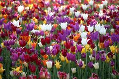 Multicolor tulips background Royalty Free Stock Photo