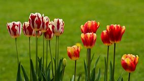 Multicolor tulips Stock Photography