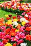 Multicolor tulips Royalty Free Stock Photos
