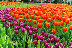 Multicolor tulips in the garden Stock Image