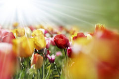 Multicolor tulips in the morning sun Royalty Free Stock Photos