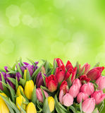 Multicolor tulips over blurred green background Royalty Free Stock Photography