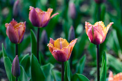 Multicolor tulips in the spring garden. Springtime flowering. Royalty Free Stock Images