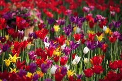 Multicolor tulips in sun spring day Stock Images