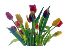 Multicolor tulips in a vase Stock Photography