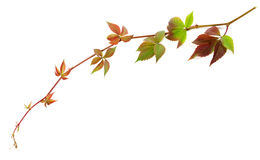 Multicolor twig of grapes leaves Royalty Free Stock Photos