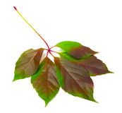 Multicolor virginia creeper leaf (Parthenocissus quinquefolia fo Royalty Free Stock Images