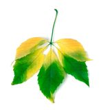 Multicolor virginia creeper leaves Royalty Free Stock Image