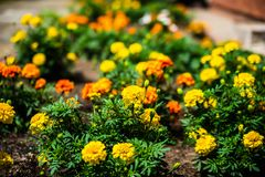 Multicolor- yellow orange and red marigolds floral background. Selective focus. Colorful flowers in the house garden royalty free stock image