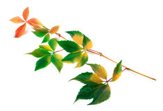 Multicolor yellowed twig of grapes leaves Stock Photos