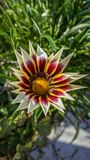 African Daisy closeup royalty free stock photography