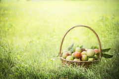 Multicolored apples in a basket on the green grass and sun background. Multicolored apples in basket on the green grass and sun background royalty free stock photo
