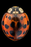 Multicolored Asian lady beetle Royalty Free Stock Photo