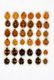 Multicolored asian lady beetles Royalty Free Stock Images