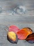 Multicolored aspen leaves macro view. Leaf detail Stock Image