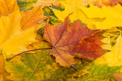 Multicolored Assorted autumn leaves background Royalty Free Stock Image