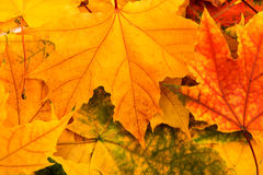 Multicolored Assorted autumn leaves background Stock Image